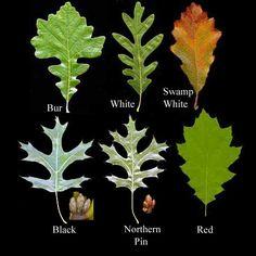 ideas for white oak tree bark
