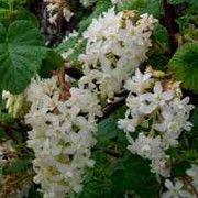 Ribes sanguineum White Icicle. (Flowering currant 'White Icicle'), flowers in spring