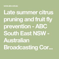 Late summer citrus pruning and fruit fly prevention - ABC South East NSW - Australian Broadcasting Corporation Pruning Fruit Trees, Apricot Tree, Fruit Flies, Citrus Trees, Beef Casserole, Spice Mixes, Late Summer, Paleo Recipes, Almond