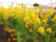 菜の花 Rape blossoms
