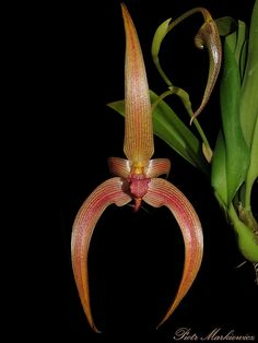 Bulbophyllum Jersey - Bulbophyllum lobbii x echinolabium