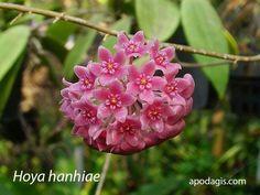 Hoya hanhiae