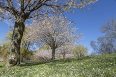 Sakura in Bloom: High Park Covered in Cherry Blossoms. 🌸 Sakura trees reach peak bloom in spring - in this time, Toronto's High Park attracts thousands of people to admire their beauty.