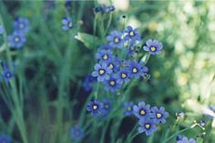 Blue-Eyed Grass is official The National Flower of Bermuda. Information about The National Flower of Bermuda – Blue-Eyed Grass, photos. World Cruise, Picnic Time, Tropical Garden, Art Projects, Project Ideas, Blue Eyes, Grass, Flora, Wedding Planning