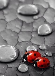 Ladybugs & drops of water