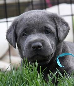 What an amazing color! - charcoal Labrador...if it's real!