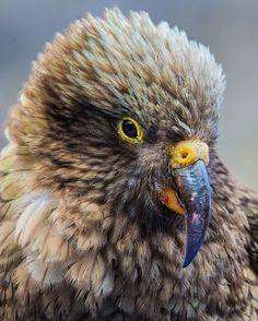 """""""What a cheeky bird!"""" New Zealand Kea."""
