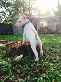 Nelson, the bull terrier puppy White Bull Terrier, Bull Terrier Puppy, Terrier Puppies, Big Dogs, Cute Dogs, Staff Terrier, Mini Bullterrier, Pet Shop Online, Miniature Bull Terrier