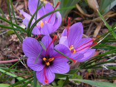 Saffron Plant, Saffron Crocus, Saffron Flower, Buy Saffron, Crocus Bulbs, Daffodil Bulbs, Bulb Flowers, Blossom Garden, Blossom Flower