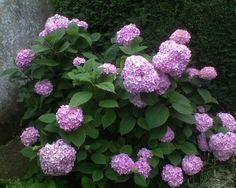 Hortenzia Plants, Plant, Planting, Planets