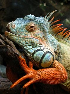 Iguana ~ By Olivier Schram I would not want to get near.but what beautiful colors of this Iguana! Nature Animals, Baby Animals, Cute Animals, Wild Animals, Les Reptiles, Reptiles And Amphibians, Beautiful Creatures, Animals Beautiful, Photo Animaliere