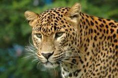 macan-tutul-300x199.jpg (300×199)
