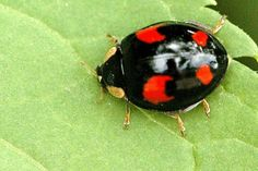 A little black and red ladybug on leaf. So many different patterns for so small a beetle.