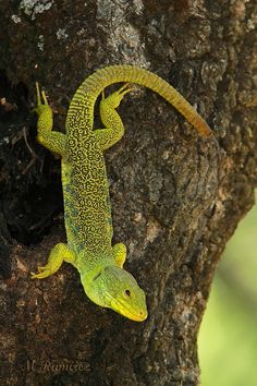 Ocellated lizard by Manuel Ramírez Muñoz on 500px