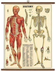 Vintage School Chart by Cavallini Paper: Anatomy