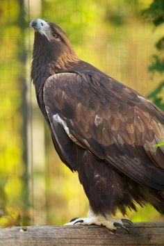 golden eagle | イヌワシ : 多忙なサラリーマンのお散歩写真館