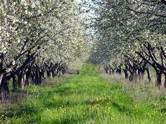 Door County will soon be filled with the sweet scent of cherry blossoms this spring!