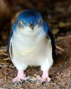 Little blue penguins - These are the smallest penguins in the world, and are found on Australia and New Zealand. While they are not considered endangered, they are losing some habitat due to urban encroachment. - Credit: dreamstime