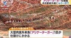 El pez carnívoro que tiene la apariencia de un caimán fue capturado en el foso del Castillo de Nagoya. Más información.