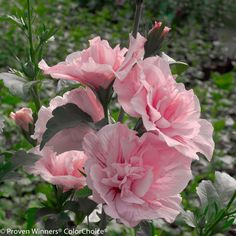 Proven Winners - Pink Chiffon® - Rose of Sharon - Hibiscus syriacus pink plant details, information and resources.