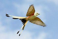 scissor tailed hummingbird | Scissor-tailed Flycatcher