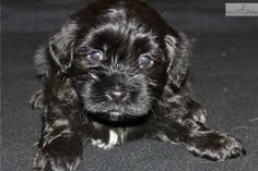 Meet ozzie a cute Havanese puppy for sale for $1,450. AKC registered male Havanese (Ozzie)