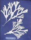 Photographs of British Algae: Cyanotype Impressions