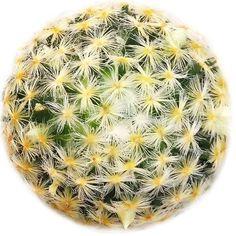 Mammillaria Carmenae Isla Carmen Pincushion Cactus Mammillaria carmenae, also known as Isla Carmen pincushion cactus, is a species native to eastern central Mexico. #mammillariacarmenae #islacarmen #pincushioncactus #cactus #cacti #succulents #houseplants