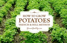 Learn how to grow potatoes using the traditional trench and hill method: This involves digging trenches, planting, and hilling the plants as they grow.