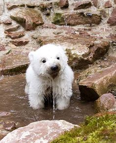 Flocke, the baby polar bear, plays in the water in de Nuremberg Zoo (2008.03.27)