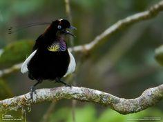 Berlepsch's Parotia | Ave del paraíso de Foja (Parotia berlepschi), de Papúa Nueva Guinea ...