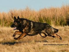 German Shepherd are made to protect and also their strong running ability and stamina can never be ignored.A healthy German Shepherd running speed lies between the range of mph. Sable German Shepherd, German Shepherd Puppies, German Shepherds, I Love Dogs, Cute Dogs, Pug, German Shepherd Pictures, Gsd Dog, Schaefer