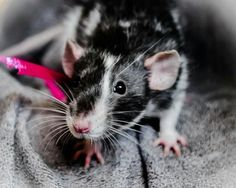 I wish I had a rat like this one!