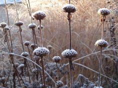 Phlomis tuberosa 'Amazone' (Jerusalem sage): seed heads in winter