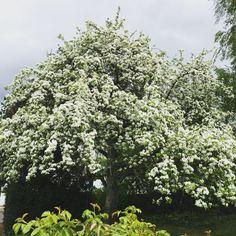 Vårt päron träd!