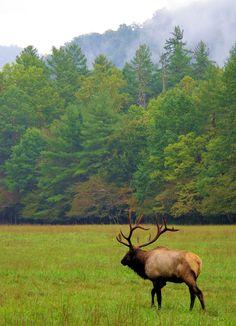 Elk in the Great Smokies in Cataloochee Valley in North Carolina