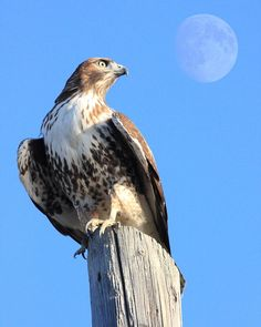 wingsdomain red tail hawk hawk animal animals hawk flying hawk red-tailed hawk red tailed hawk wildlife bird in flight bird avian rth flying hawks raptor hawk bird hawk birds hawks bif Raptor Bird Of Prey, Birds Of Prey, Hawk Tattoo, Tattoo Art, Pale Male, Hawk Bird, Red Tailed Hawk, Eagle Tattoos, Bird Watching