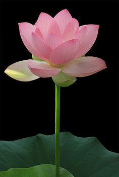 Pink lotus flower. One of my favorites now.