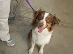 This is Choo. He is an Australian Shepherd. He is 3 years old.  He's been a therapy dog for 2 years. He knows many tricks, competes in many dog sports including agility, Rally obedience and barn hunts. He likes to go paddle boarding with his owner/handler and enjoys a game of fetch or tug-of-war.