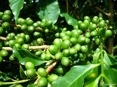 Brazilian Green gold (green coffee grains)