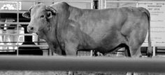 """Bodacious- """"The World's Most Dangerous Bull,"""" an 1800 pound Charbray bull who threw 129 of the 135 cowboys who rode him competitively. Inducted into the Pro Rodeo Hall of Fame, he retired from competition in 1995 and had his own agent. He was profiled on tv, in magazines, had his own line of popular belt buckles and accessories and starred in Bud Light commercials.   Burial: Andrews Rodeo Company Ranch"""