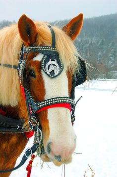 Sleigh ride Draft horses Learn about #HorseHealth #HorseColic www.loveyour.horse