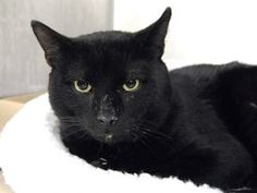 CUCUMBER HAS A LARGE WOUND ON THE LEFT HIND FOOT. THIS BOY CAME IN AS A STRAY BUT HIS FRIENDLY BEHAVIOR SEEMS TO INDICATE HE MAY BE A LOST OR ABANDONED PET.  HE IS ABOUT 6 YRS OLD AND VERY HANDSOME. DOESN'T SOMEONE OUT THERE NEED A HOUSE PANTHER? PLEASE EMAIL HELPCATS@URGENTPODR.ORG FOR RESCUE INFO.