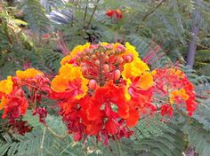 Pride of Barbados  - http://earth66.com/botanical/pride-barbados/