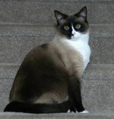Snowshoe Cat - what a gorgeous cat! (Looks like my Wyatt! ~Cindy McMullen~) Your cat is gorgeous!...
