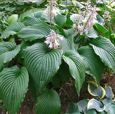 """Hosta """"Niagara Falls"""" - all information you need to know about. Full review, information, description about size, Growing Conditions, Characteristics. Tropical Garden Design, Tropical Landscaping, Colorful Garden, Garden Landscaping, Types Of Hostas, Niagara Falls Pictures, Plant Texture, Hosta Plants, Hosta Gardens"""
