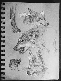 coyotes..........artist?