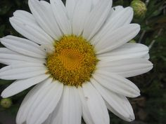 Shasta Daisy Deer & Rabbit Resistant Flowers you can plant in your #Colorado Garden #examinercom