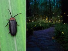 8 Simple Steps to Save Declining Firefly Populations Human Overpopulation, Light Pollution, Animal Habitats, River Bank, Plant Species, Environmental Issues, Summer Nights, Predator, Water Features