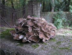 GRIFOLA FRONDOSA:  HEN OF THE WOODS OR MAITAKE
